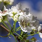 Nashi Pear Blossom by Joy Watson