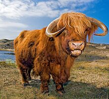 Highland Cattle by Henry Jager