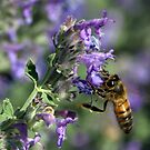 Busy Bee on lavender tree by Lozzar Flowers & Art