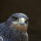 Chilian Buzzard Eagle by John Dalkin