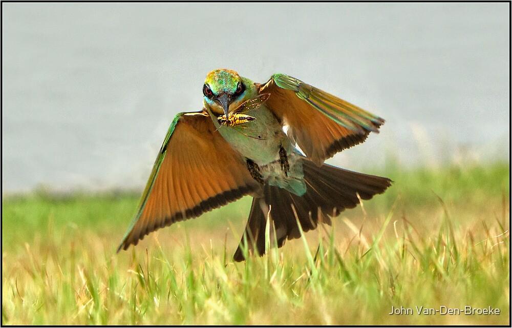 Rainbow Bee-eater  88 by John Van-Den-Broeke