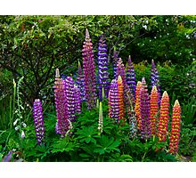 LUPINS Photographic Print