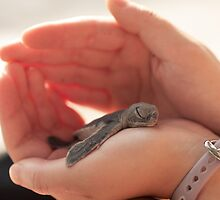 Green Sea Turtle (Chelonia mydas) Hatchling by dingobear