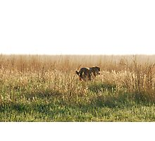 Lab in Field Photographic Print