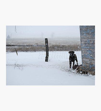 Snowy Labrador Retriever Photographic Print