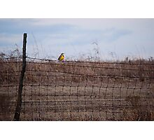 Meadowlark on Fence Photographic Print