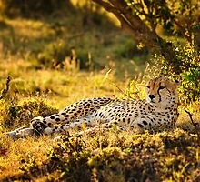 Cheetah at Sunrise by Johan Skybäck