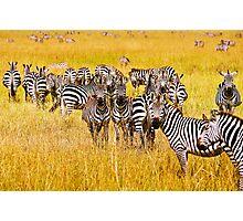 Many Zebras Photographic Print