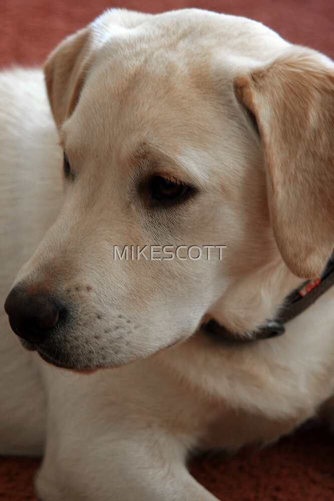 GOLDEN LABRADOR by MIKESCOTT