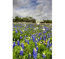 Texas Wildflower Images - White Poppies in a Field of Bluebonnets 2 Photographic Print