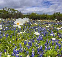 Texas Wildflowers - White Poppies in a Field of Bluebonnets 1 by RobGreebonPhoto
