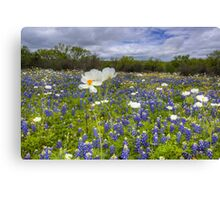 Texas Wildflowers - White Poppies in a Field of Bluebonnets 1 Canvas Print