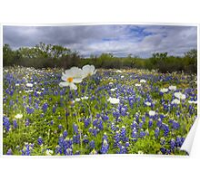 Texas Wildflowers - White Poppies in a Field of Bluebonnets 1 Poster