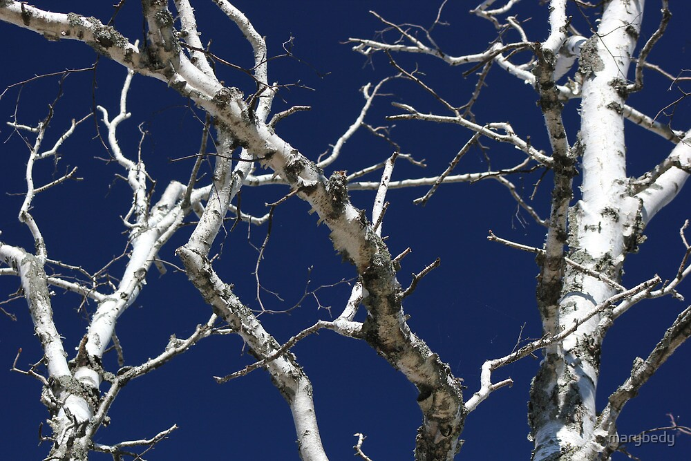 Dead Birch 1 by marybedy