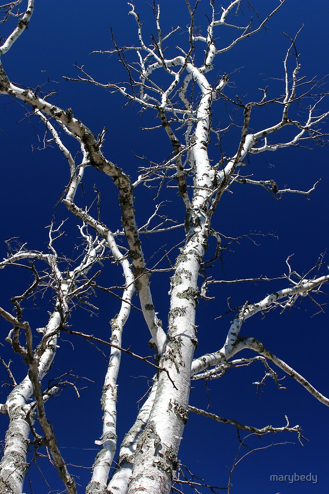 Dead Birch 3 by marybedy