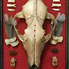 13 years, coyote skull painted. by resonanteye