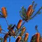 Banksias against blue sky - Canberra by Bev Pascoe