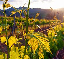 Dawn On The Vineyard by Adrian Alford Photography