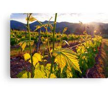 Dawn On The Vineyard Canvas Print