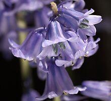 Bluebells  by Joy Watson
