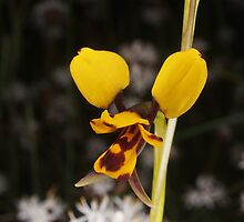 bee orchid Diuris laxiflora by peterbeaton