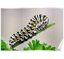 Black Swallowtail Butterfly Caterpillar on Parsley Poster