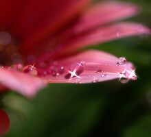 Dewdrops by Liz Worth