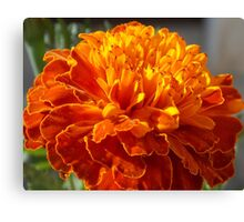 African Marigold In Full Bloom Canvas Print