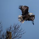 Bald Eagle Lifts Up Into the Air by Deb Fedeler