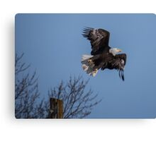 Bald Eagle Lifts Up Into the Air Canvas Print