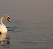 A Swan on the Lake at Sunrise by Heidi Stewart