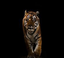 Bengal Tiger - Out Of The Black by George Wheelhouse