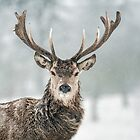 Red Deer - Blizzard Portrait by George Wheelhouse
