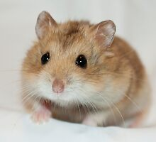 Dwarf Hamster Black Eyed Argente by Purshue