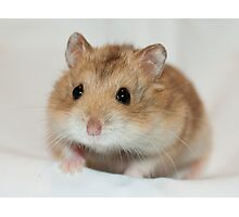 Dwarf Hamster Black Eyed Argente Photographic Print