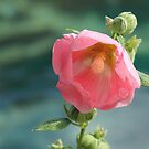 Hollyhock by the water by Jan  Tribe