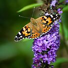 Painted Lady, Leeds & Liverpool Canal by strangelight