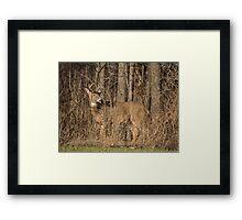 Deer Buck On Alert Framed Print