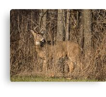 Deer Buck On Alert Canvas Print