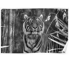 Taronga Zoo Tiger Poster
