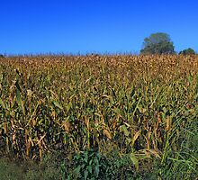 "Kansas Corn ""As High as the Elephants Eye"" by John  Kapusta"