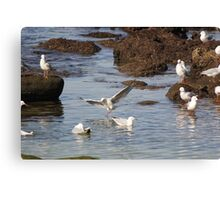 Bondi Seagulls Canvas Print