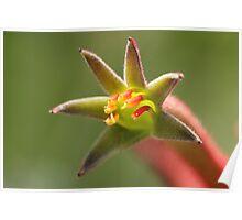 Kangaroo paw - wild flower of Western Australia Poster