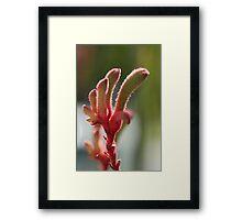 The Kangaroo paw, a wild flower of Western Australia Framed Print