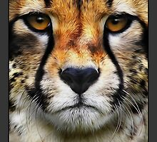 Airbrushed Cheetah - Wildlife Portraits. This gallery is being updated on a regular basis. by michael montgomerie
