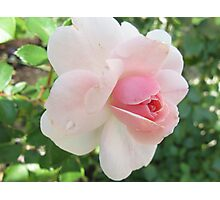 Pink purity Photographic Print