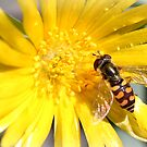 Hoverfly - Eupeodes corollae by Rina Greeff