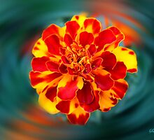 Marigold Reflections by SummerJade