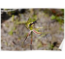 Spider Orchid Poster