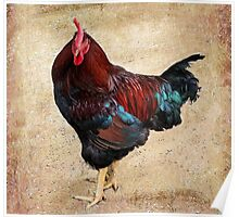 Rhode Island Red Poster